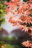 Esdoorn (Acer-palmatum Thunb) bladeren Stock Foto's