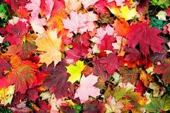 Esdoorn dalende bladeren royalty-vrije stock foto's