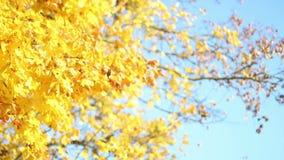 Esdoorn in de de herfsttijd stock video