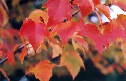 Esdoorn in de herfst Royalty-vrije Stock Foto's