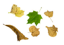 Esdoorn en linde natuurlijke bladeren Royalty-vrije Stock Foto's