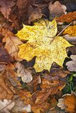 Esdoorn geel blad die op de rode eiken bladeren in de herfst liggen Stock Foto's
