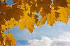Esdoorn gele bladeren Royalty-vrije Stock Fotografie