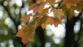 Esdoorn in het de herfstbos in de stralen van de het plaatsen zon stock video