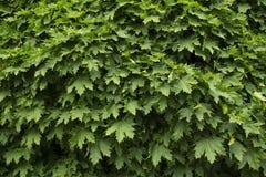 Esdoorn houten bladeren Stock Fotografie