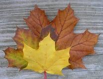 Esdoorn-Leaves2 stock afbeelding
