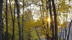 Esdoorn met gele bladeren in de herfstpark stock footage