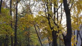 Esdoorn met gele bladeren in de herfstpark stock videobeelden