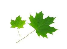 Esdoorn natuurlijke bladeren Stock Afbeelding