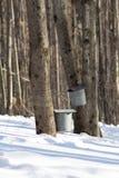 Esdoorn Sugar Taps in Sneeuw Stock Foto's
