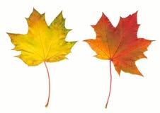 Esdoorn twee van de herfst bladeren Stock Fotografie