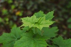 Esdoorn zoals blad met sommige mieren stock afbeeldingen