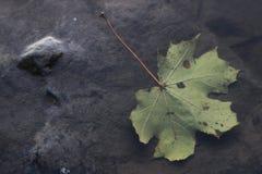 Esdoornblad gevallen op water stock afbeelding