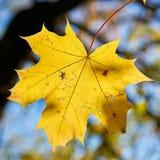 Esdoornblad met de herfstkleuring royalty-vrije stock fotografie
