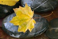 Esdoornblad op rots Stock Afbeelding