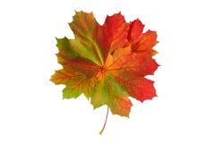 Esdoornbladeren Royalty-vrije Stock Afbeelding
