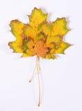 Esdoornbladeren Stock Foto