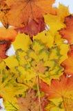 Esdoornbladeren Stock Afbeelding