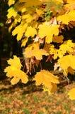 Esdoornbladeren Stock Fotografie
