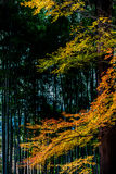 Esdoornbladeren in bamboebosje Stock Afbeelding