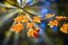 Esdoornbladeren in de Herfst op een boomtak die door een zonnestraal wordt verlicht stock foto's