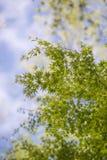 Esdoornbladeren, de vroege zomer, in Yamanashi, Japan royalty-vrije stock afbeelding