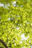Esdoornbladeren, de vroege zomer, in Yamanashi, Japan Royalty-vrije Stock Foto's