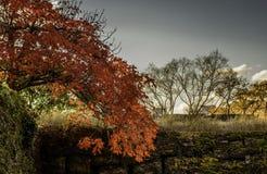 Esdoornbladeren in de winter Stock Afbeeldingen