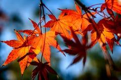 Esdoornbladeren in de winter Royalty-vrije Stock Afbeeldingen