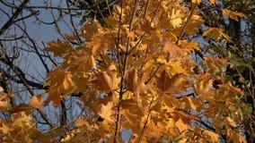 Esdoornbladeren in de zon stock footage