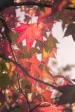 Esdoornbladeren in een warm de kleurenlicht van de de herfstzonsondergang Stock Foto's