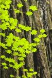 Esdoornbladeren en Californische sequoiaboom Royalty-vrije Stock Foto