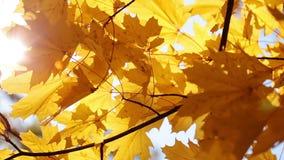Esdoornbladeren en zon stock videobeelden