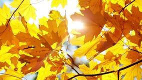 Esdoornbladeren en zon stock footage