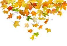 Esdoornbladeren het vallen Stock Afbeeldingen