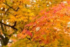 Esdoornbladeren in Japan Stock Afbeelding
