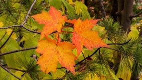 Esdoornbladeren met heel wat stekels stock fotografie