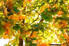 Esdoornbladeren op de boom in de herfst royalty-vrije stock foto's