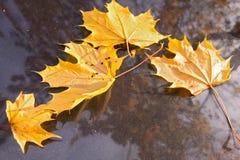 Esdoornbladeren op een autodekking Stock Fotografie