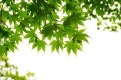 Esdoornbladeren van onderstaand worden gezien die royalty-vrije stock fotografie