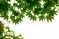 Esdoornbladeren van onderstaand worden gezien die royalty-vrije stock foto's