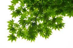 Esdoornbladeren van onderstaand worden gezien die stock foto's