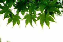 Esdoornbladeren van onderstaand worden gezien die royalty-vrije stock foto