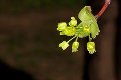 Esdoornbloemen in de lente Stock Afbeeldingen