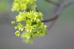 Esdoornbloemen in de lente Royalty-vrije Stock Fotografie
