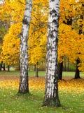 Esdoornbomen en berken in de herfst Royalty-vrije Stock Foto