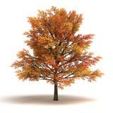 Esdoornboom Stock Afbeelding