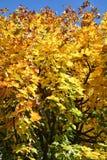 Esdoornboom in de de herfstdaling Royalty-vrije Stock Afbeelding
