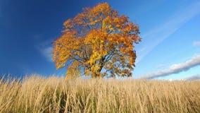 Esdoornboom in de herfst stock footage