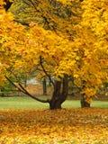 Esdoornboom in de herfst Royalty-vrije Stock Foto's